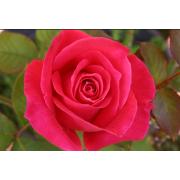 Rose hydrolate